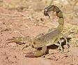 Le scorpion Androctonus Amoreuxi dont le venin est d'une puissance de 5 sur une échelle de... 5 © WikiNature